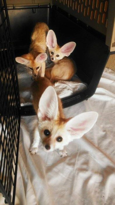 We Heard You Were Looking For Some Squee Cute Little Animals Fox Pups Dog Tumblr