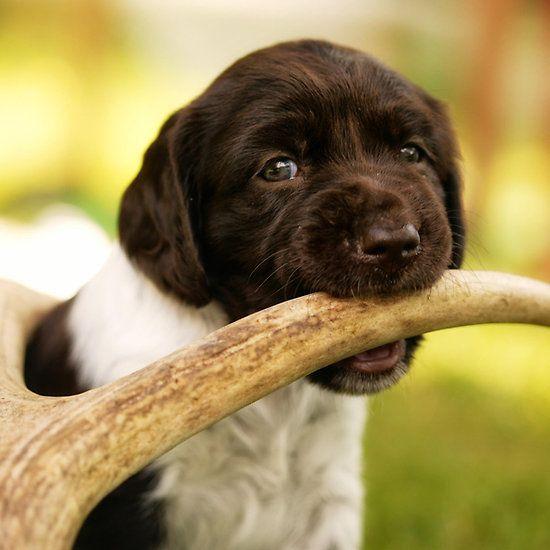 Small Munsterlander Puppy Chewing On An Antler By Birddog Media Cute Dogs Breeds Unusual Dog Breeds Puppies