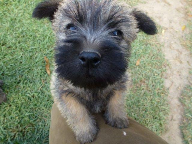 Cairn Terrier Puppy Cairn Terrier Puppies Cairn Terrier