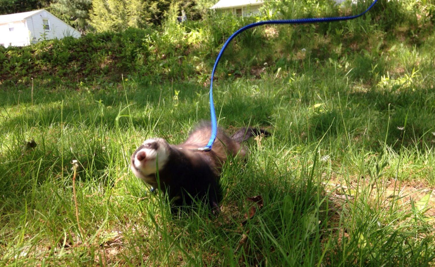 My frolicking ferret <3 #MyPetIsAStar