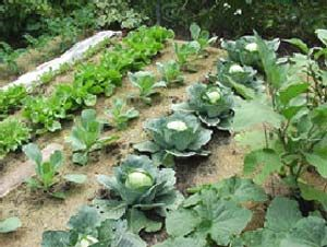 home garden dos and dontsgardens fruits and vegetables and - Home Vegetable Garden Design