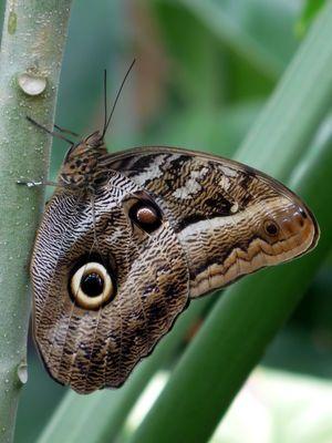 Bananenfalter Beautiful Butterflies Insects Moth