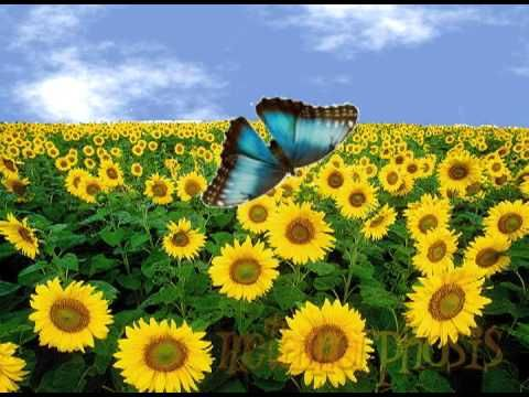 Butterfly Life Cycle Metamorphosis Song Sunflower Fields Sunflower Plants