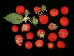 Resultado de imagem para rubus rosifolius
