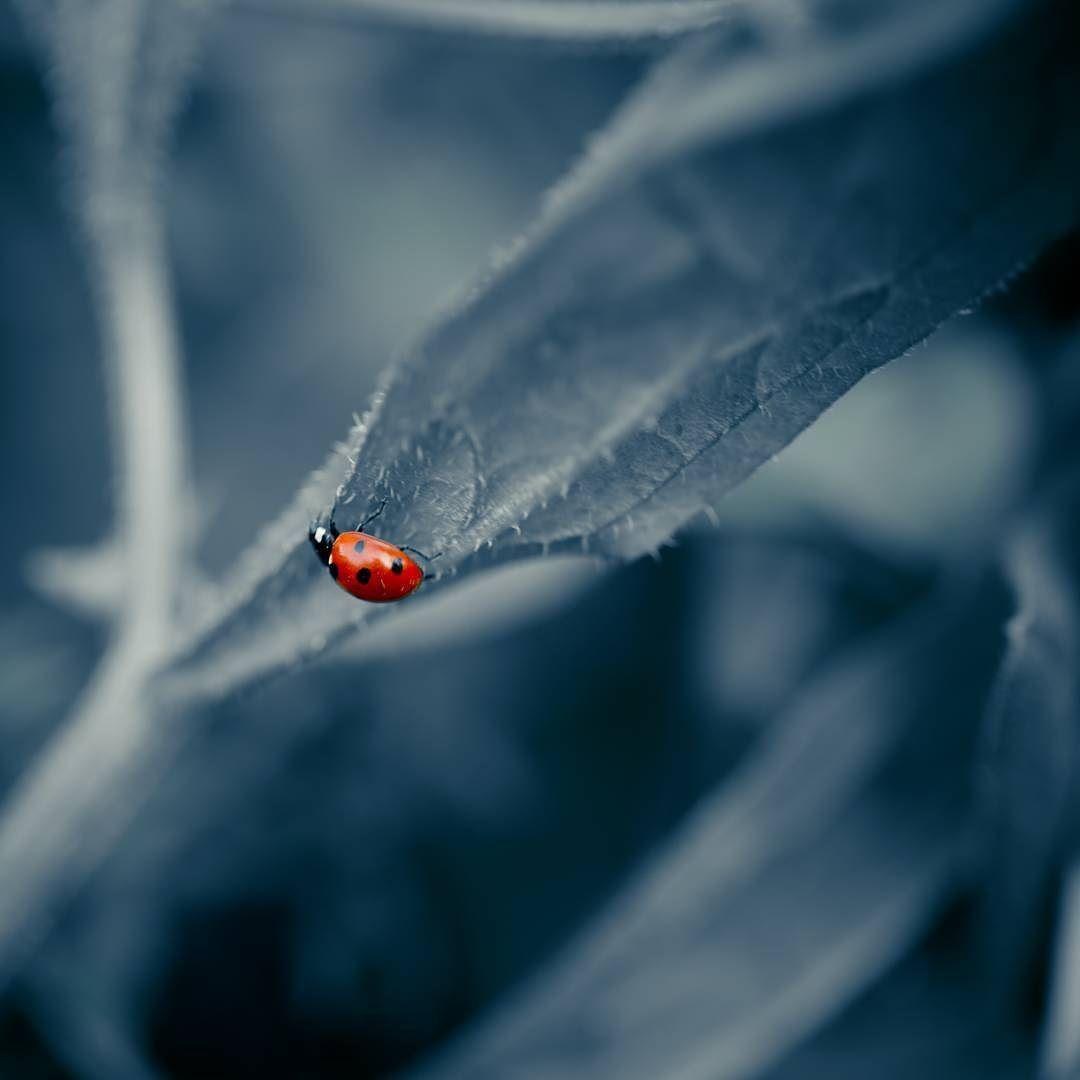 #ladybug #ladybug #macro #macroworld #bug #nature #naturelovers #canon #garden #blue #bluelovers