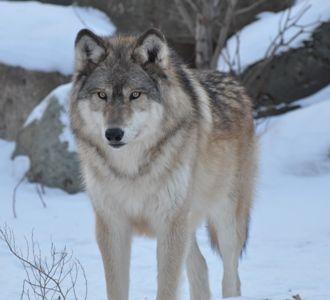 Denali at International Wolf Center in MN
