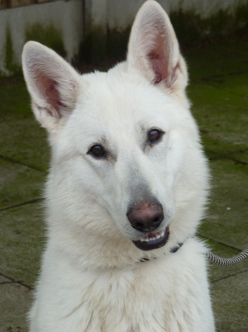 White German Shepherds High Quality Imported Dogs For Sale