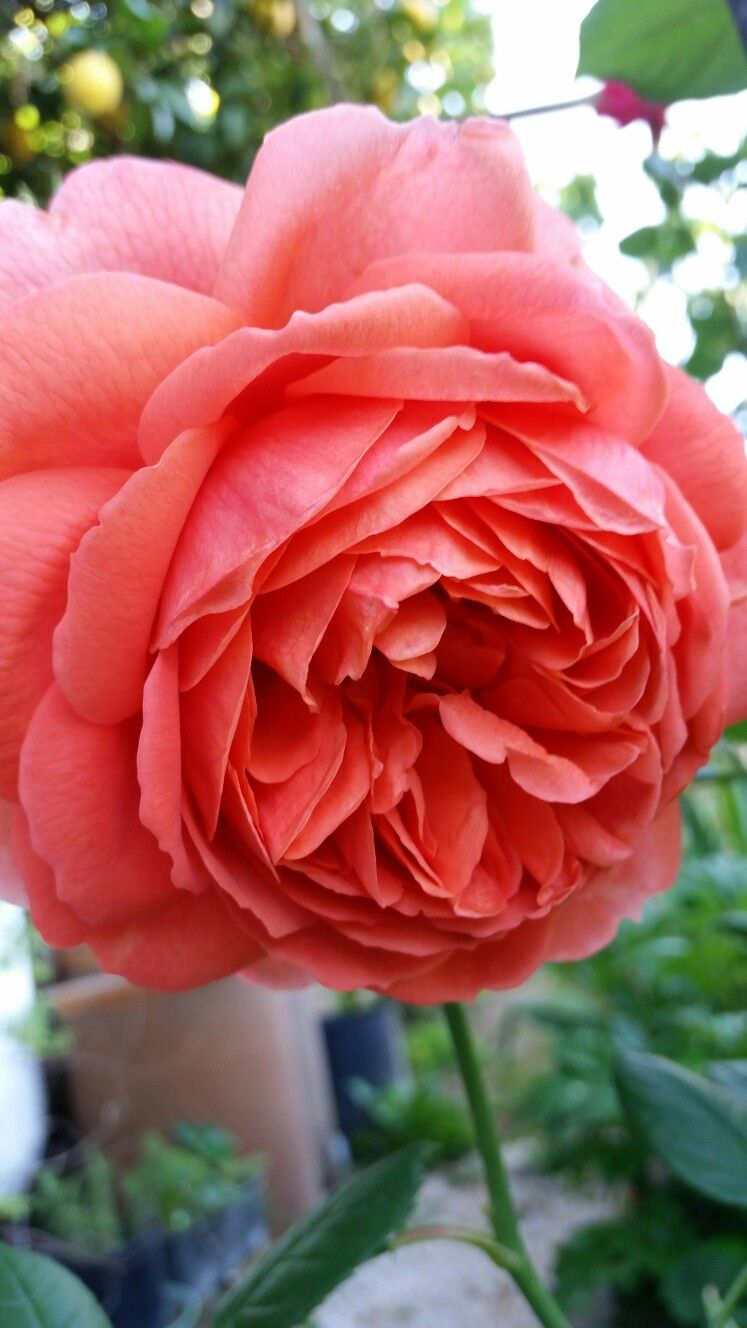 Pin von Nur Sandal auf Güller | Pinterest | Rose, Blumen rosen und ...