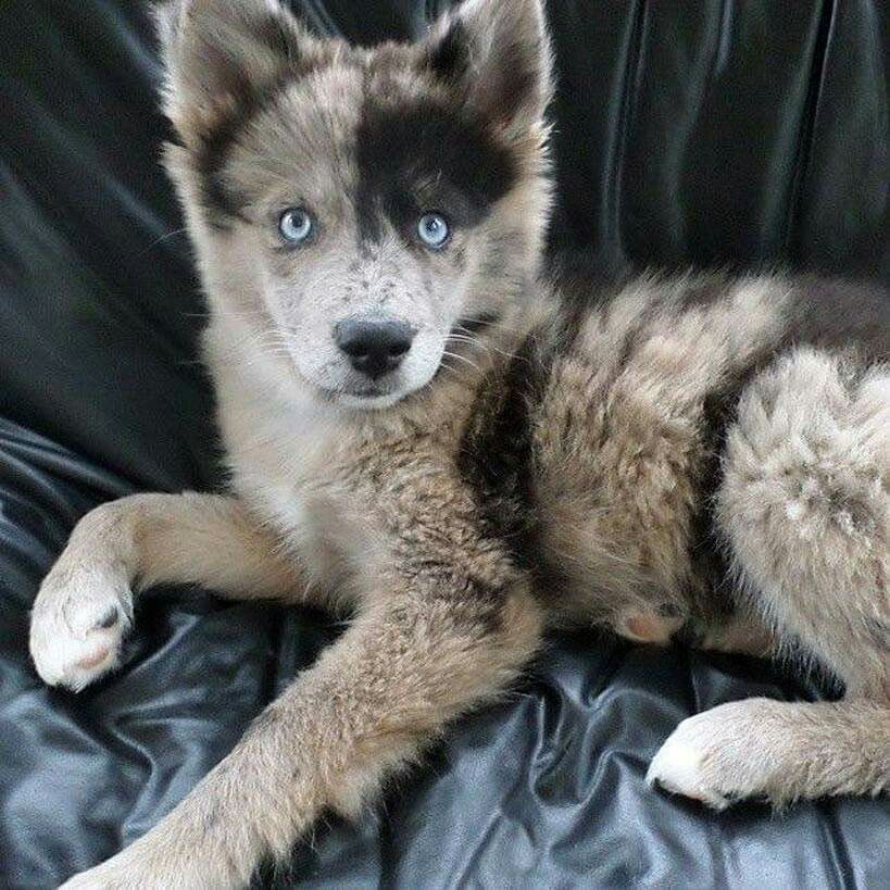 Husky Australian Shepherd Mix Dogs Cute Animals Animals Australian Shepherd Mix Kleinanzeigen Kaufen Verkaufen Australian Shephe In 2020 Cute Animals Puppies Animals