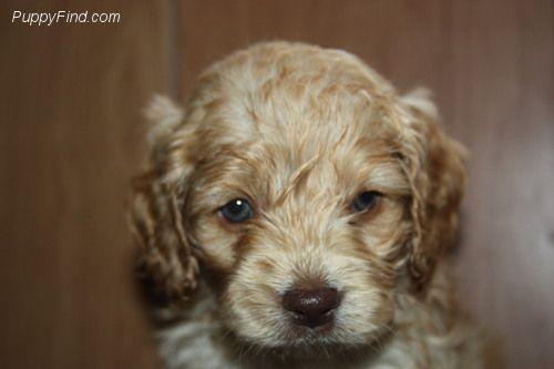 Cockapoo Pictures H72yoyy2t9q Puppies Cockapoo Poodle Mix