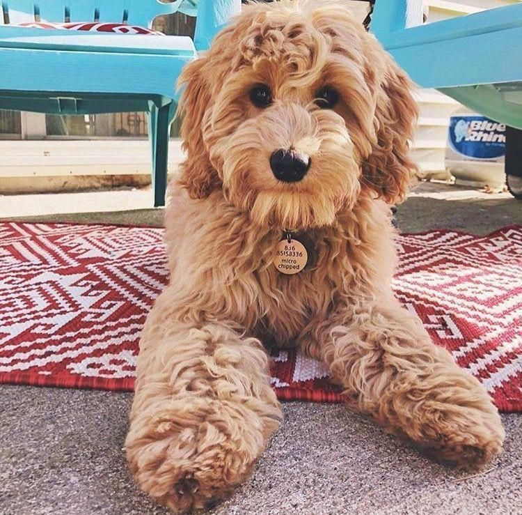 Image by abigayle harrison on animals goldendoodle puppy
