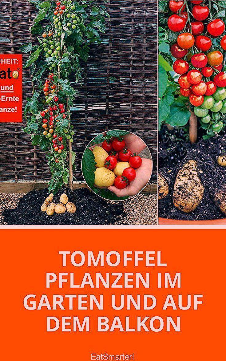 Photo of Pflanz-Tipps für die Tomoffel = Tomate + Kartoffel