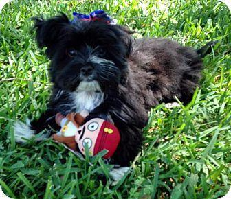 Alvin Tx Maltese Shih Tzu Mix Meet Piper A Dog For Adoption Http Www Adoptapet Com Pet 18130948 Alvin Texas Maltese M Kitten Adoption Pets Dog Adoption