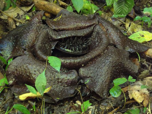 Our Life In Singapore The Elusive Rafflesia That Was First Discovered In 1818 Planting Flowers Flowers Large Flowers