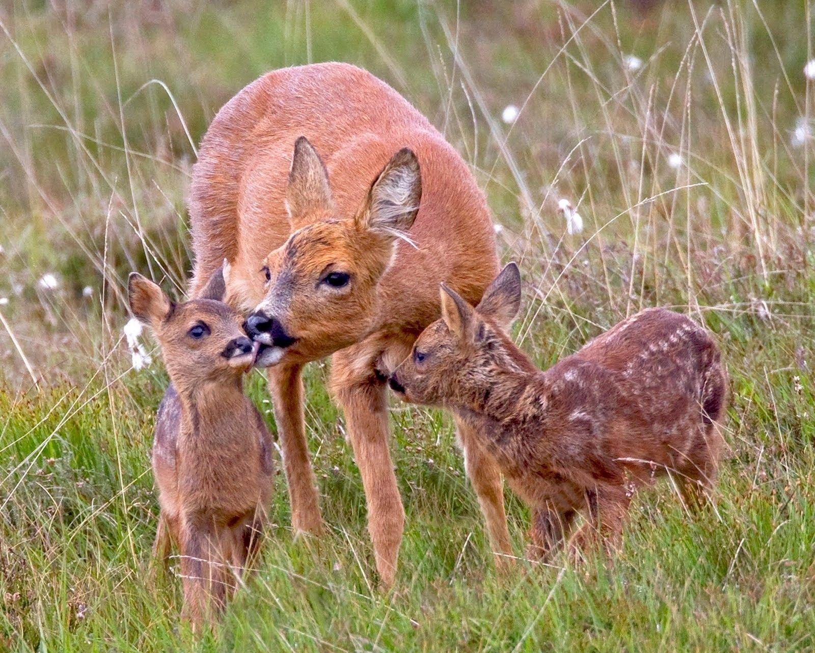 Deer - Nature Animals Wild Deers