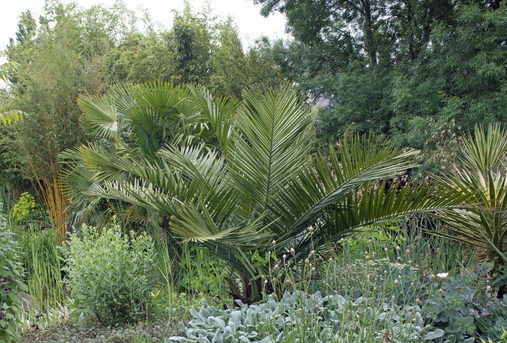 Palmen Palmen Garten Kubelpflanzen Garten