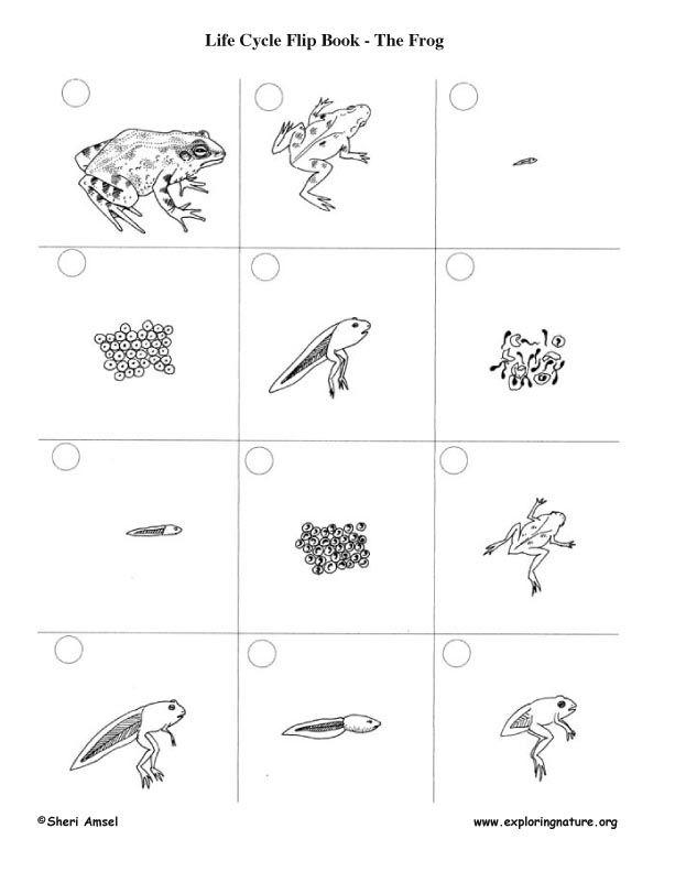 Life Cycle Flip Books | Montessori Zoología | Pinterest | Frösche