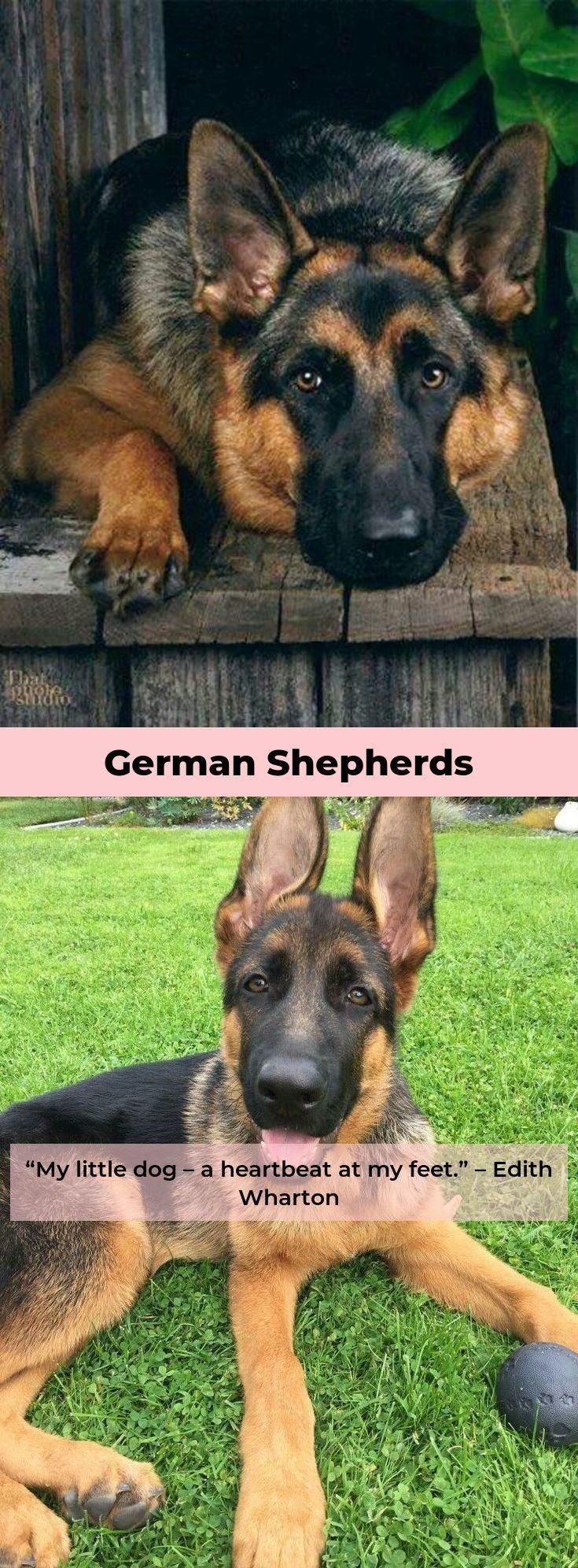 German Shepherd Funny Germanshepherdcentral Germanshepherdclub