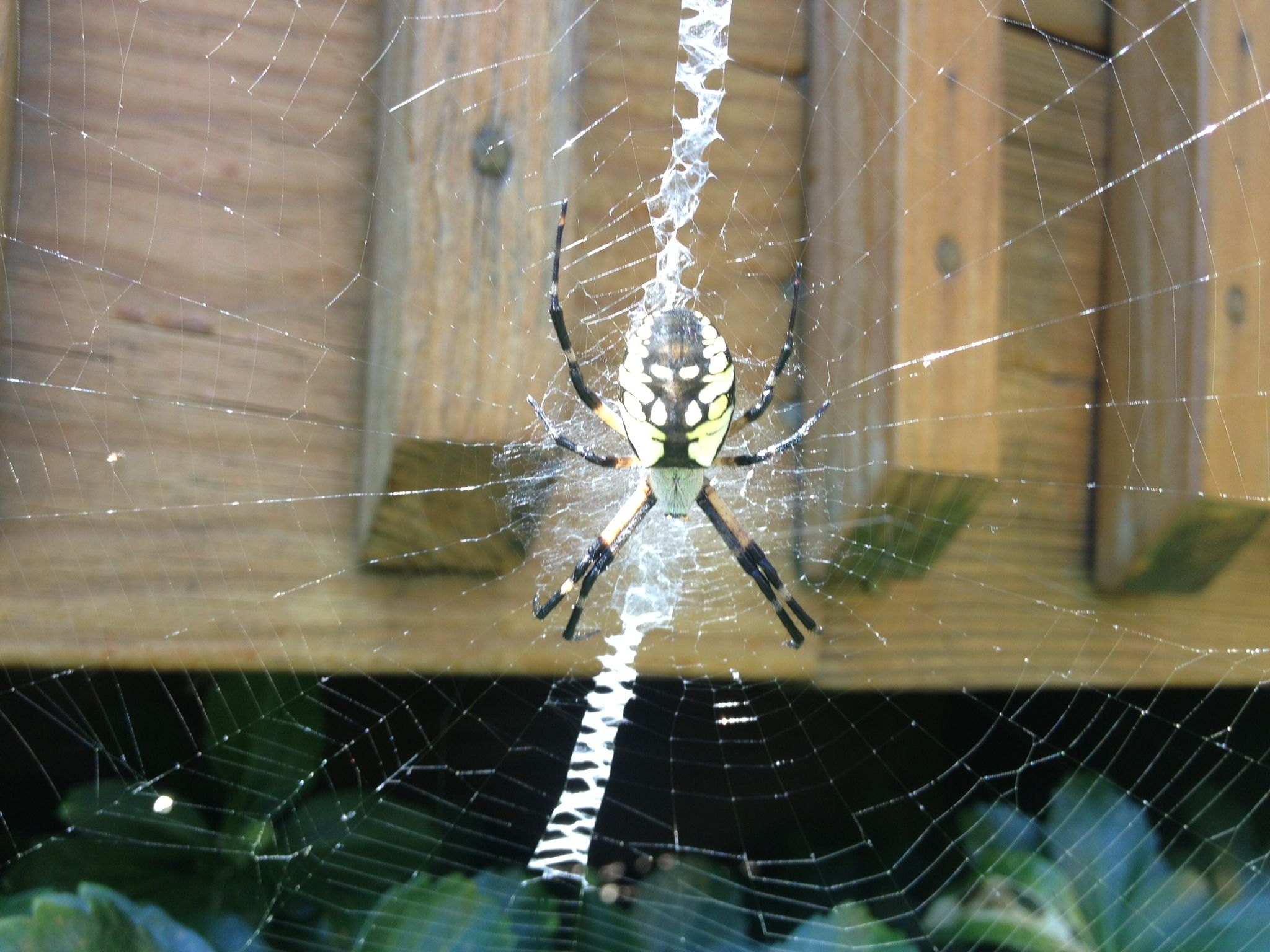 Black And Yellow Garden Spider That Cool Zig Zag Pattern Is It S