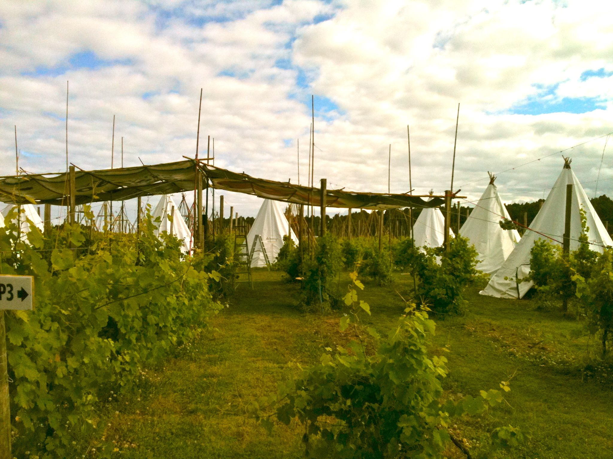 Tepee Life Village under construction, Rhythm and Vines Festival, Gisborne, NZ
