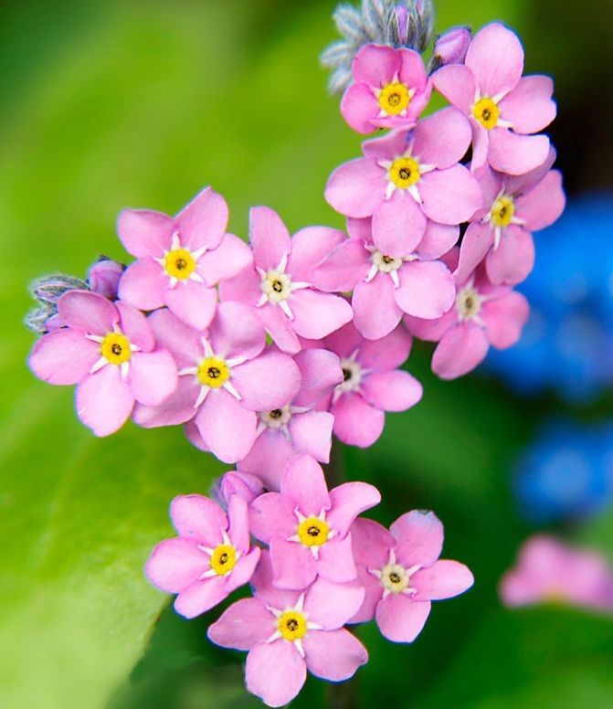 Forget-Me-Not x100 seeds - Alpine, Myosotis Alpestris, Pink, NOT for WA or TAS in Home & Garden, Gardening, Plants, Seeds, Bulbs | eBay