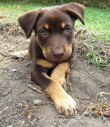 Brown And Tan Kelpie Puppies Fur Friend Animals