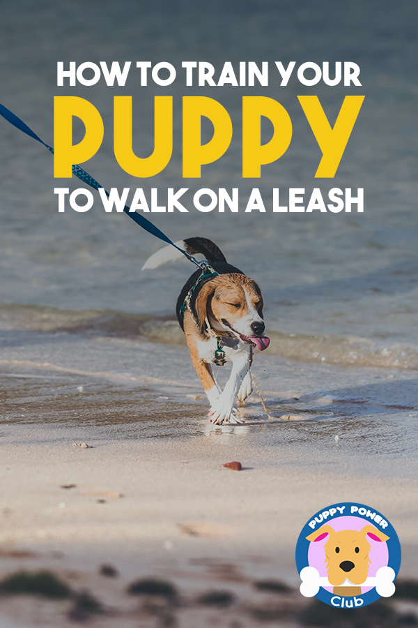 How To Train Your Puppy To Walk On A Leash Puppy Power Club Training Your Puppy Puppy Training Puppies