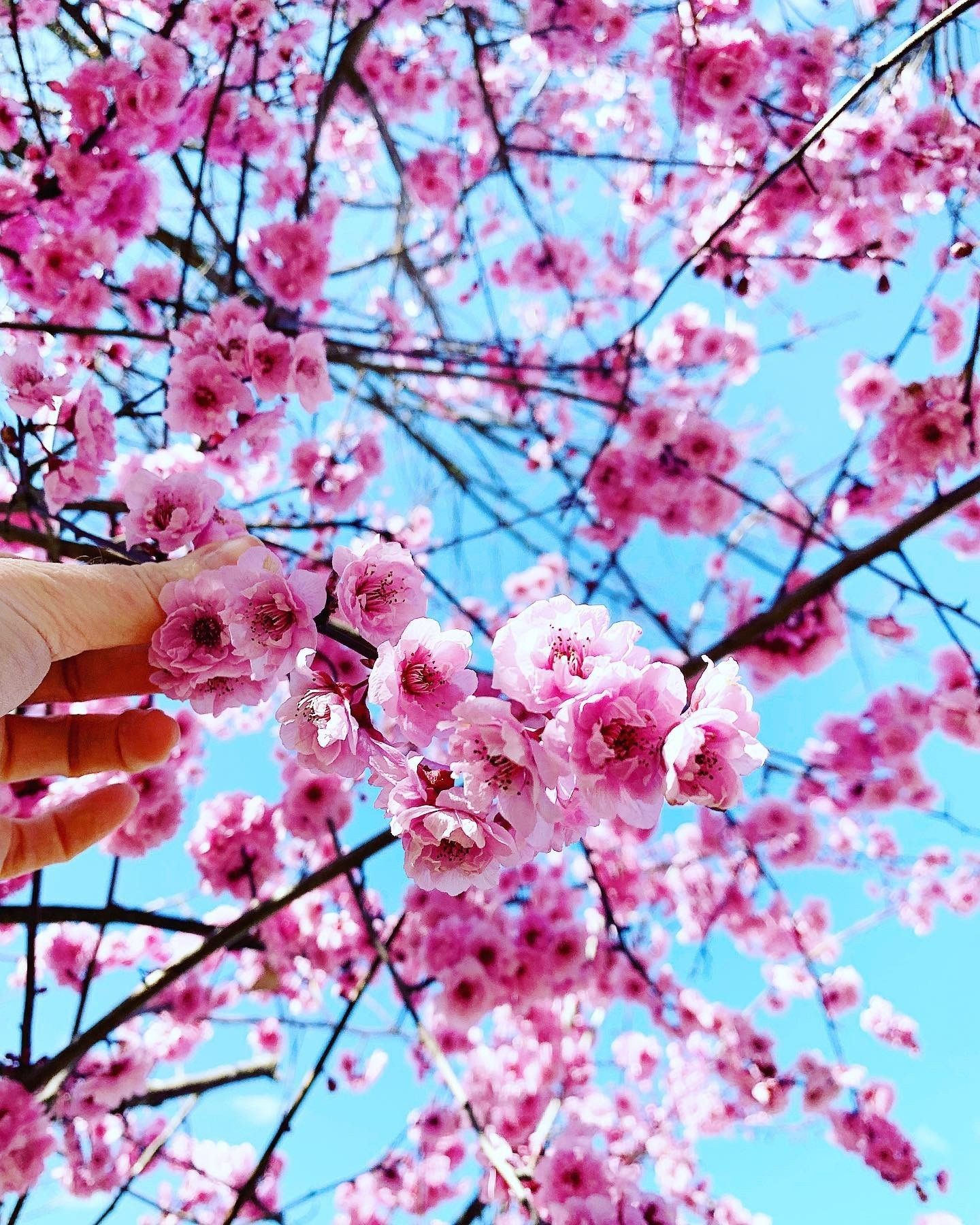 Live The Best Places To See Cherry Blossoms In Australia Blossom Spring Flowers Beautiful Blooms