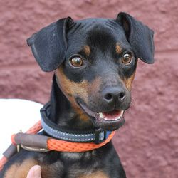 Adopt Cookie Went To Rescue On A Pet Dogs Miniature