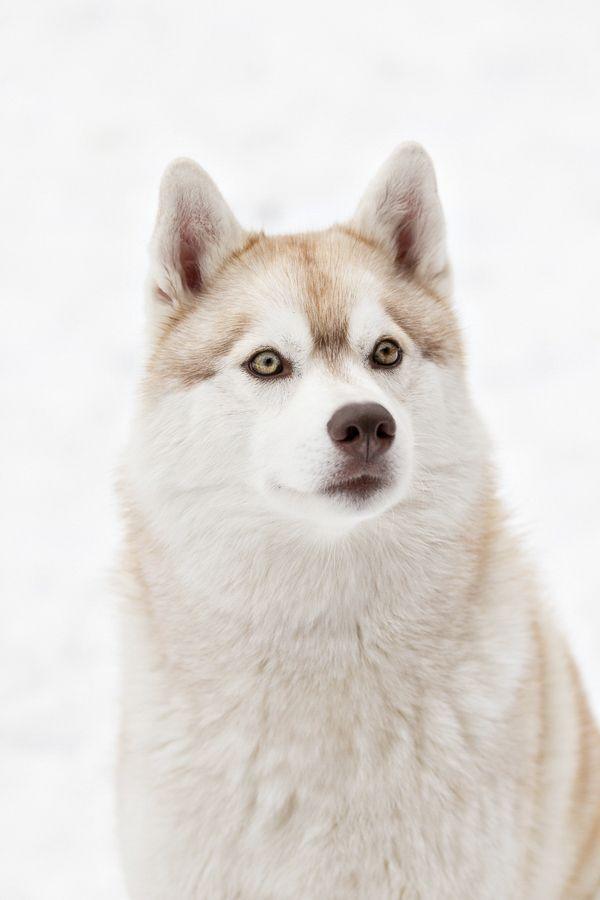 Happy Tails Siberian Huskies Zoey Jetta Red Husky Husky Dog