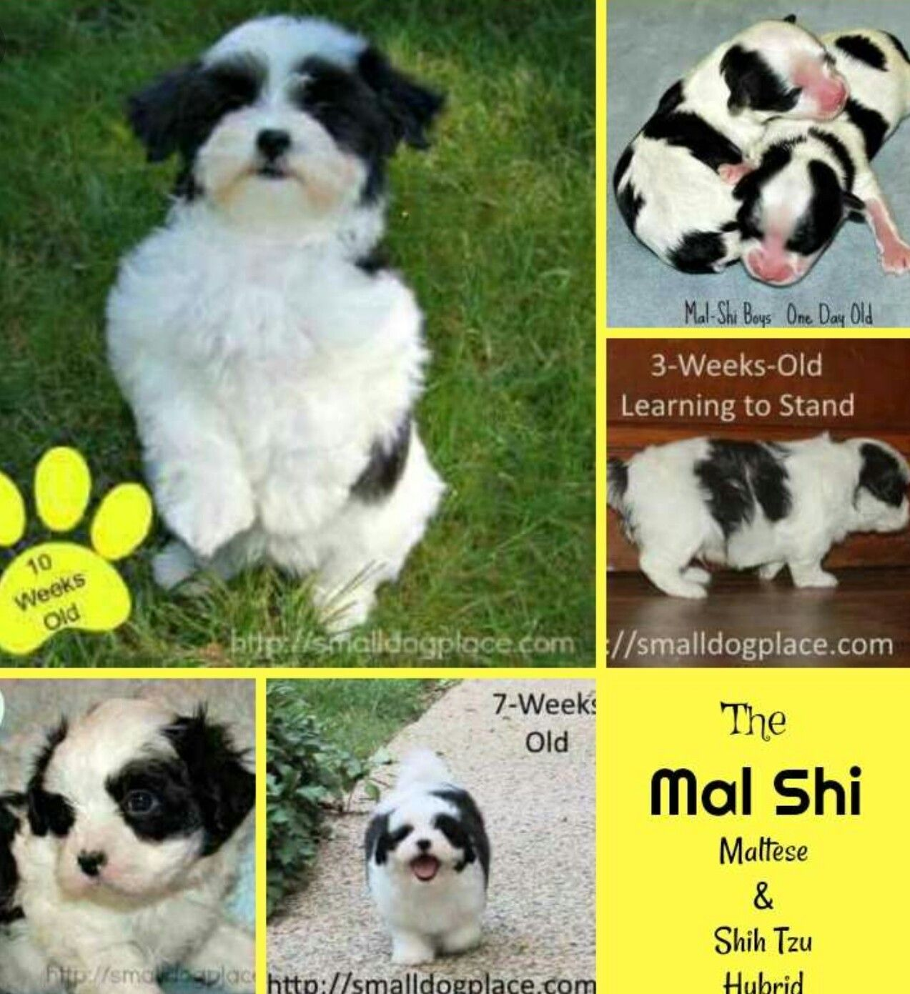 Pin By Enticing On Cute Puppies Shih Tzu Hybrid Dogs Maltese Dogs