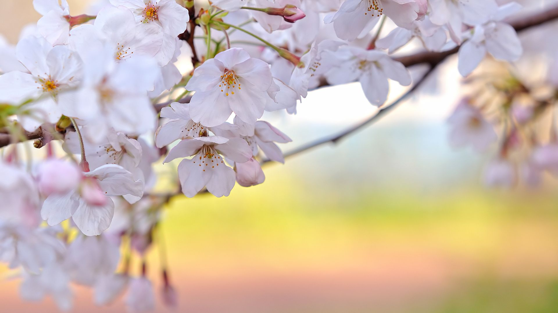 Bee And Spring Blossom HD desktop wallpaper : High Definition ...