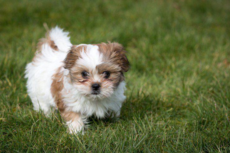 Shih Tzu Shih Tzu Dog Dog Breeds Shih Tzu Puppy