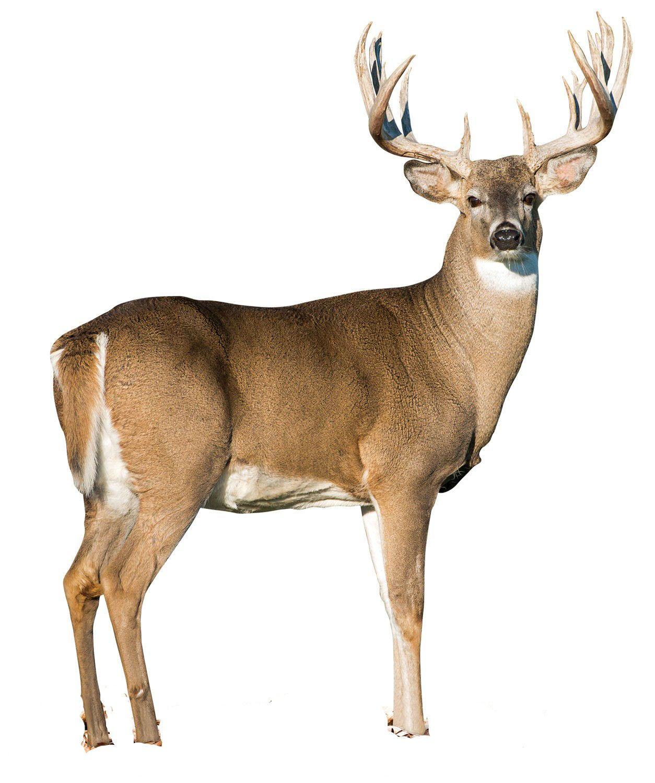 Pin By Juliette Bartko On Deer Me Animals Wild Whitetail Deer Pictures Wild Animals Photos