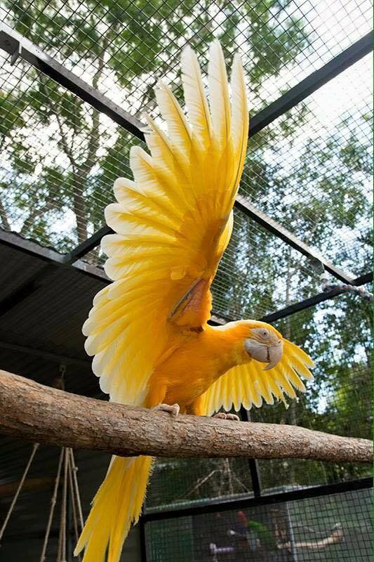 Gold Lutino Macaw Phoenix By Rachel Sharrocks Animals Beautiful Pet Birds Beautiful Birds