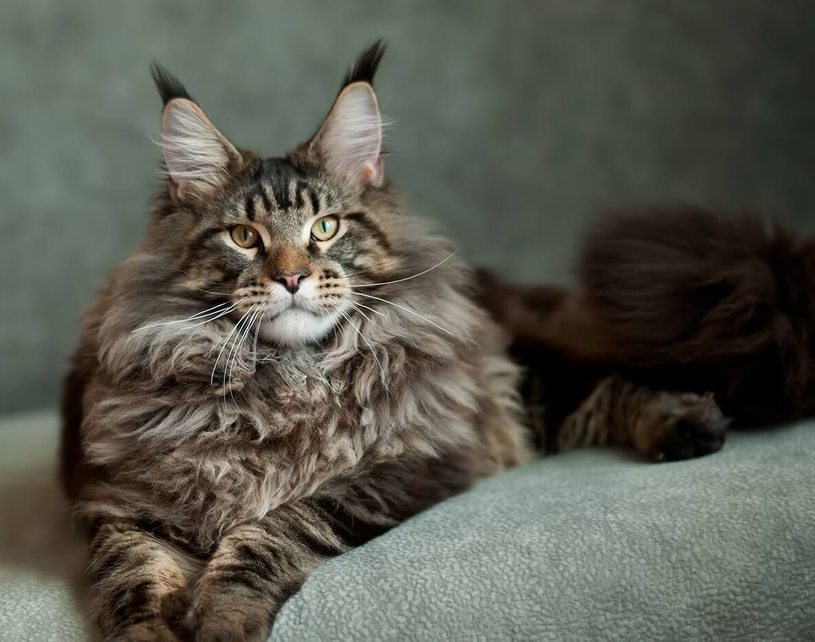 The Maine Coon Kittens Personality Maine coon, Maine