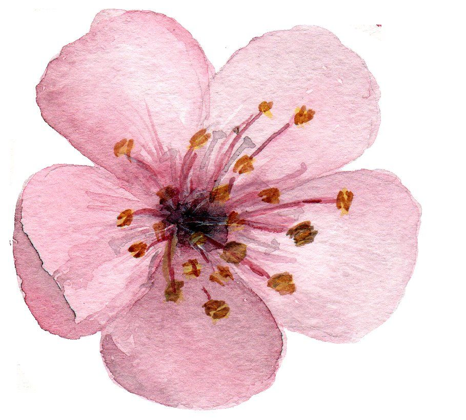 17 Watercolor Cherry Blossom Clipart Cherry Blossom Art Cherry Blossom Painting Cherry Blossom Watercolor