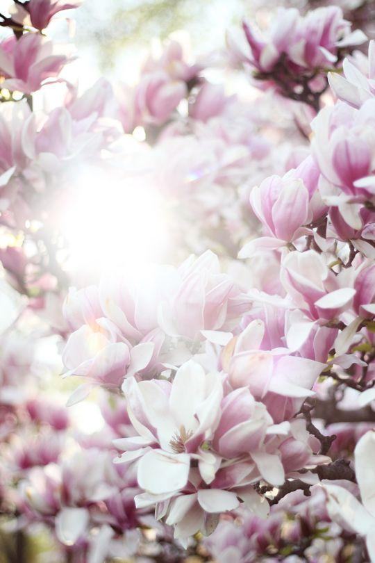 Underneath The Magnolia Tree Love Taza Magnolia Trees Flowers Magnolia
