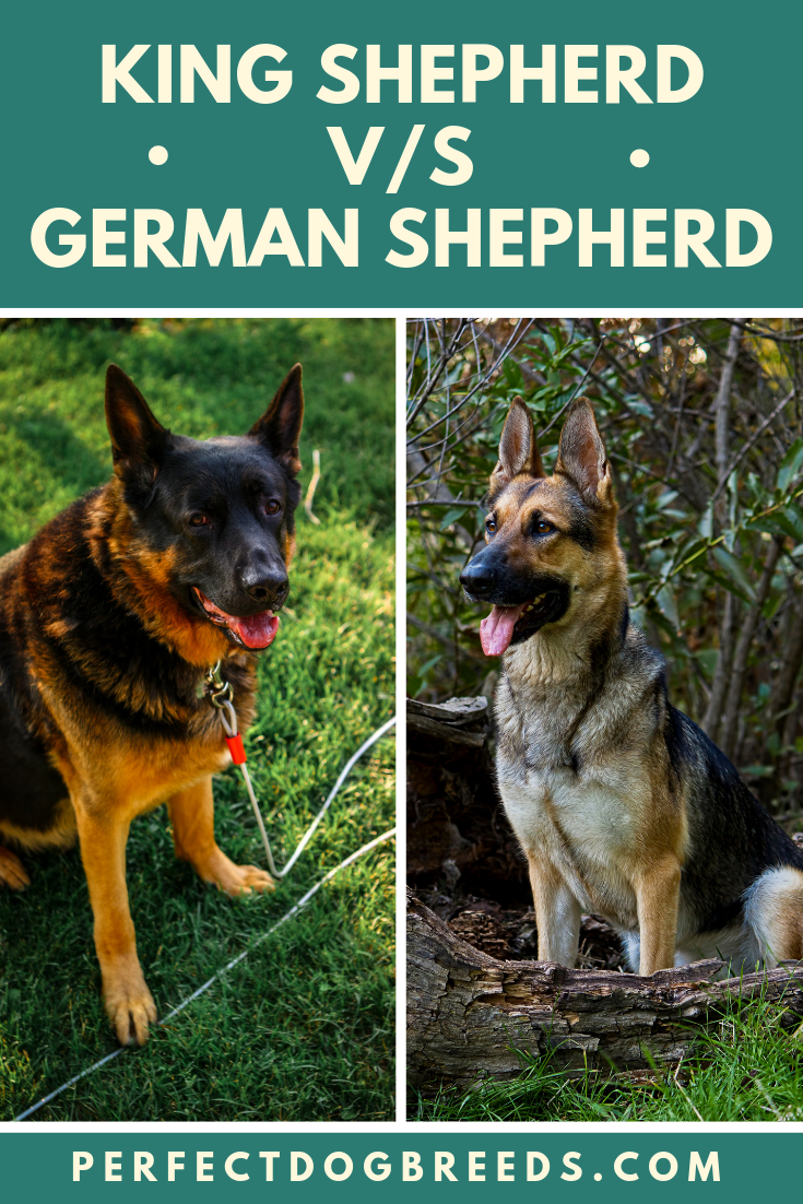 The King Shepherd is well known for being excellent with ...