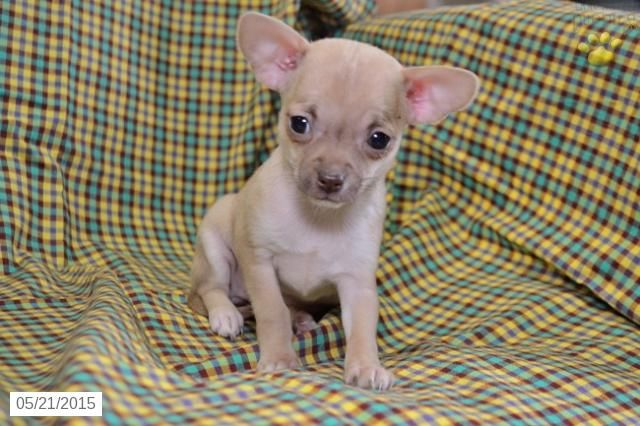 Chihuahua Puppy For Sale In Ohio Buckeyepuppies Chihuahua