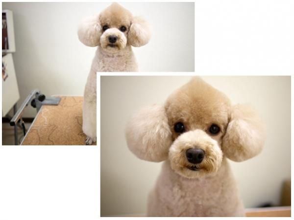 Corte de pelo de caniche mini toy