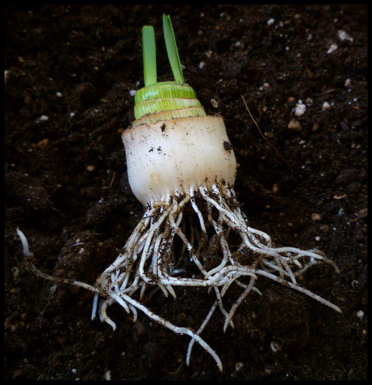 Growing leeks in containers growing leeks vegetable