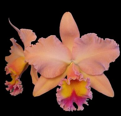 Online Catalog And Monthly Special Sale Sale Sale Cattleya Orchid Orchids Cattleya