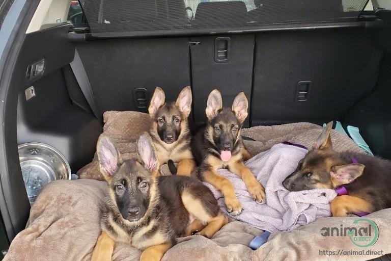Park Art|My WordPress Blog_German Shepherd Puppies For Sale In Pakistan
