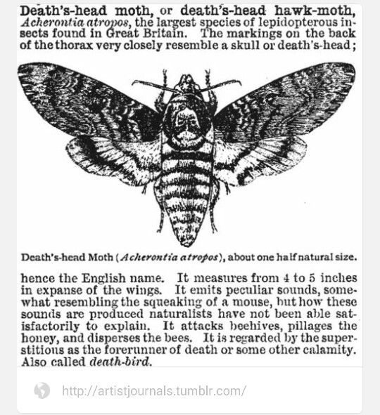 Deaths Head Moth Creepy Things Pinterest Moth