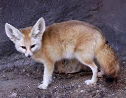 Image Result For ثعالب Cute Animals Animals Desert Animals