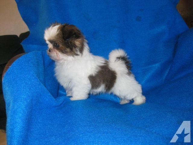 Super Tiny Toy Akc Shih Tzu Puppy Female 11 Weeks Old Shih Tzu Puppy Puppies Shih Tzu