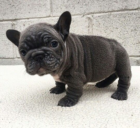 Frenchie Pup From Pitfall Kennel French Bulldog Puppies Bulldog Puppies French Bulldog