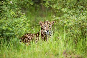 Der Ruhuna Nationalpark, besser bekannt als Yala Nationalpark in Sri Lanka, ist der meistbesuchte Wildtierpark auf Sri Lanka-Reisen.