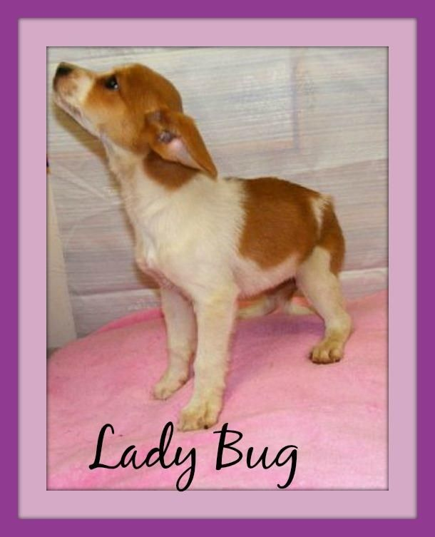 URGENT!!! CUTER THAN CUTE!!! PLEASE RESCUE ASAP!!!!! MEET LIL LADYBUG (sweethesrt!) IRONTON, OHIO...Available for a limited time from the Lawrence County Dog Pound, 1302 Adams Lane Ironton, OH 45638. Please call the dog warden at 740-533-1736  for further details. Unfortunately the pound does not have long distance calling so please call back if...